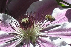 bee on the way to pollinate clematis